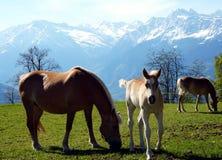 Haflinger trakenu konie w St Catarine, Po?udniowy Tirol, W?ochy zdjęcia stock