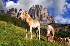 Haflinger van paarden Stock Afbeelding