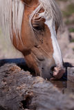 Haflinger at the Watering place Stock Photography