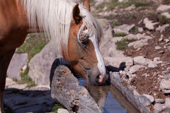 Haflinger at the Watering place Royalty Free Stock Image