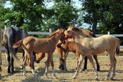 Haflingerpaarden die zich in paddock bevinden Stock Afbeelding