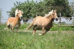2 haflingers бежать на pasturage Стоковое Изображение