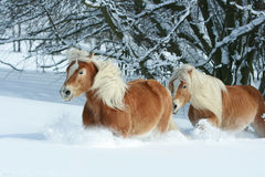 2 haflingers при длинная грива двигая в снег Стоковая Фотография RF
