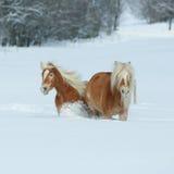 2 haflingers при длинная грива двигая в снег Стоковое Фото