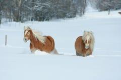 2 haflingers при длинная грива двигая в снег Стоковые Изображения