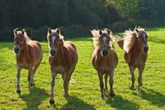 Haflingers in the sun. Galloping Haflingers in meadow in Flanders Royalty Free Stock Image