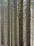 Hafren las, Llanidloes Zdjęcie Stock