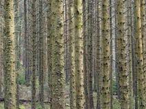 Hafren las, Llanidloes zdjęcia stock