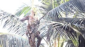 Haga frente a al trabajador corta follaje verde de la palmera con el cuchillo grande almacen de metraje de vídeo