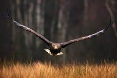 Haga frente al vuelo, albicilla del Haliaeetus, Eagle Blanco-atado, aves rapaces con el bosque en fondo Fotos de archivo libres de regalías