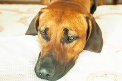 Haga frente a casa a un perro grande que pone en el vestíbulo en el piso Imagen de archivo libre de regalías
