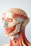Haga frente a la anatomía humana Imagen de archivo