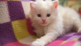 Haga frente a mentira blanca grande del gatito dormida en otra almacen de metraje de vídeo