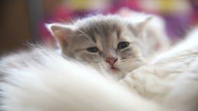 Haga frente a mentira gris grande del gatito dormida en otro blanco almacen de video