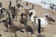 Haga la manera para el cisne Fotos de archivo