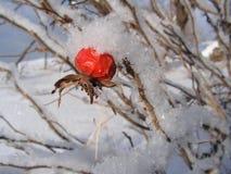 Hagebutte abgedeckt mit Schnee Stockfotos