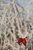 Hagebutte auf einer gefrorenen Niederlassung Stockfotografie