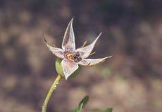 Hagebutte, die seine Blüten verschüttet haben, verwirrt in der hellen Spinnennetzseide Lizenzfreie Stockfotos