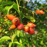 Hagebutte, hagebutte, Rozebottel, de gezonde vruchten van de roos, houdt van als thee een veelzijdige geneeskrachtige installatie Stock Afbeeldingen