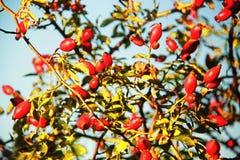 Hagebutte im Herbst Stockbild