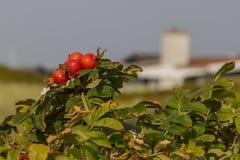 Hagebutten Ende der afternnon Herbstsonne stockbilder