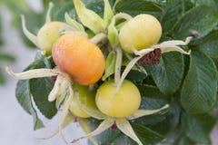Hagebutten-Früchte Stockbilder