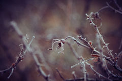 Hagebutten unter Frost Stockfoto
