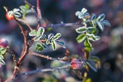 Hagebuttenblätter und -beeren mit wildem rosafarbenem Strauchesprit des Reifs A stockbild