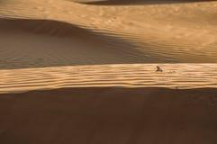 Hagedis in de woestijn op het gele zand stock foto's
