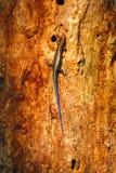 Hagedis die boom beklimmen Stock Afbeelding