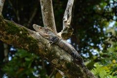 Hagedis die over een boomstam rusten stock afbeeldingen