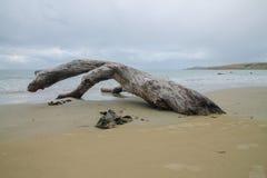 Hagedis die van hout in overzees beklimmen stock fotografie