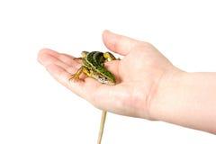 Hagedis in een vrouwelijke geïsoleerde hand, Stock Foto's