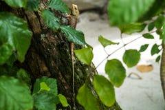Hagedis het verbergen in de bladeren op de boom Stock Foto's