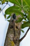 Hagedis met blauw hoofd op boom Stock Afbeeldingen