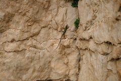 Hagedis met groen terug op stenen van beige kleur De stenen zijn gebarsten en bedekken groeit van hun barsten met gras royalty-vrije stock afbeeldingen