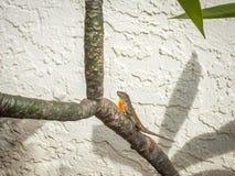 Hagedis met oranje halsklep royalty-vrije stock foto's