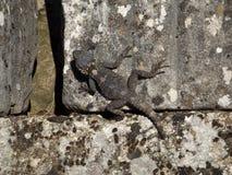 Hagedis op de oude steen Stock Foto