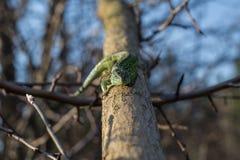 Hagedis op een het leven boom Stock Afbeeldingen