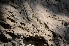 Hagedis op een rots Royalty-vrije Stock Afbeeldingen