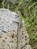 Hagedis op een steen Stock Foto's