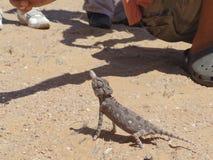 Hagedis op een zand in een woestijn Stock Afbeelding