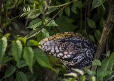 Hagedis op het bos Stock Foto's