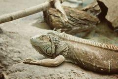 Hagedis - Pseudocalotes-microlepis, Stock Fotografie
