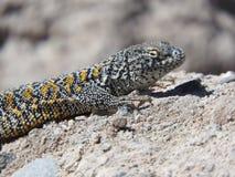 Hagedis van Atacama-Woestijn, Chili royalty-vrije stock foto