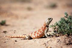 Hagedis in woestijn Stock Foto's