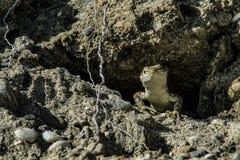 Hagedispiepgeluiden uit zijn huis in de rots Stock Foto's