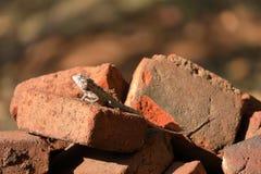 Hagedissen en reptielen in Sri Lanka Stock Foto