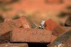 Hagedissen en reptielen in Sri Lanka Stock Afbeelding