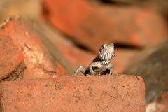 Hagedissen en reptielen in Sri Lanka Royalty-vrije Stock Afbeeldingen